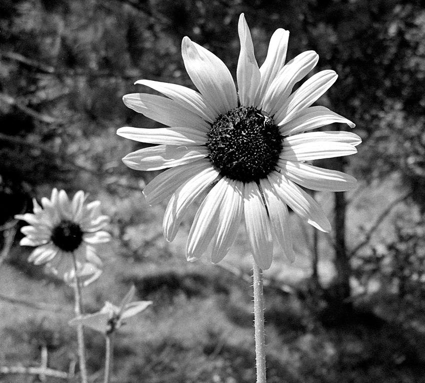 Ray Brimhall Flower